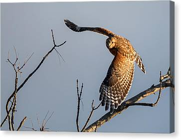 Red Shoulered Hawk In Flight Canvas Print