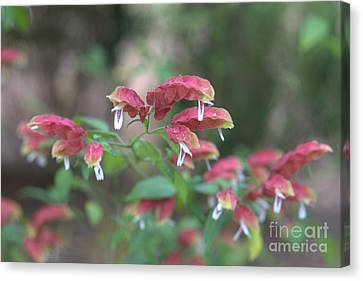 Red Shrimp Plant Canvas Print by Liane Wright