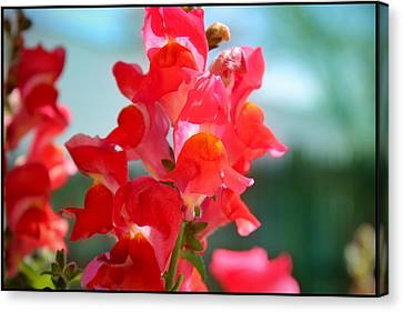 Red Snapdragons I Canvas Print by Aya Murrells