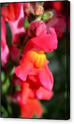 Red Snapdragons IIi Canvas Print by Aya Murrells