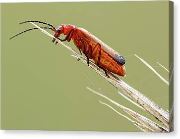 Red Soldier Beetle Canvas Print