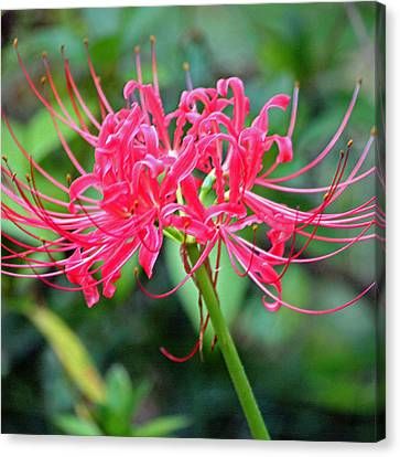 Red Spider Lily Enhanced Canvas Print by Suzanne Gaff