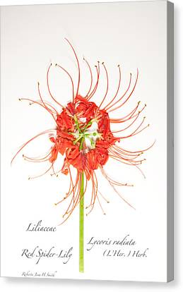 Red Spider-lily Canvas Print