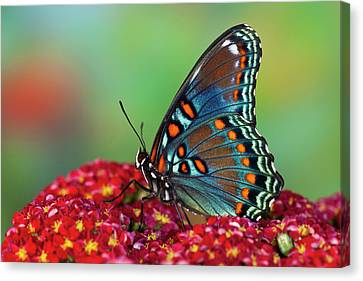 Red-spotted Purple Butterfly, Limenitis Canvas Print by Darrell Gulin
