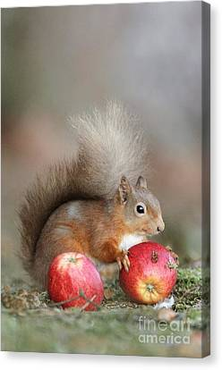 Red Squirrel Eating An Apple Canvas Print