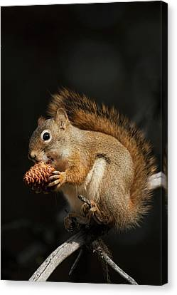 Red Squirrel Eating Pine Nut Canvas Print by Ken Archer