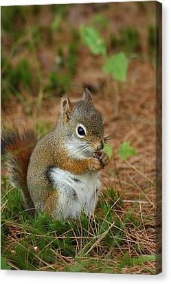 Red Squirrel In Acadia National Park Canvas Print