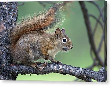 Red Squirrel Canvas Print by Ken Archer