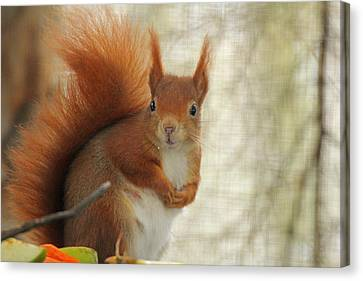 Red Squirrel Canvas Print by Martyn Bennett
