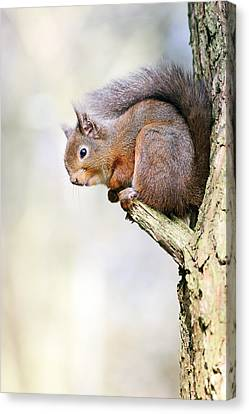 Bushy Tail Canvas Print - Red Squirrel On Tree Branch by Grant Glendinning
