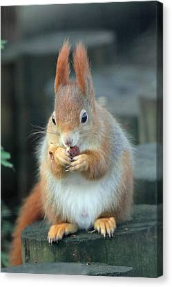 Red Squirrel With A Nut Canvas Print by Martyn Bennett