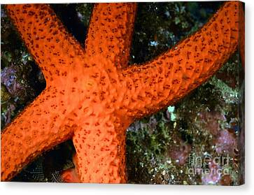 Red Starfish Echinaster Sepositus On A Rock Canvas Print by Sami Sarkis
