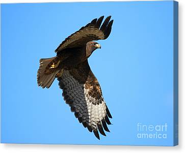 Red-tail Flight Canvas Print by Mike Dawson
