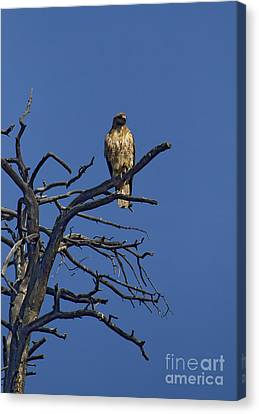 Red-tail Hawk   #0622 Canvas Print by J L Woody Wooden