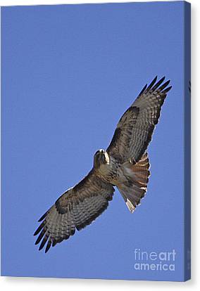 Red-tail Hawk  #1853 Canvas Print by J L Woody Wooden