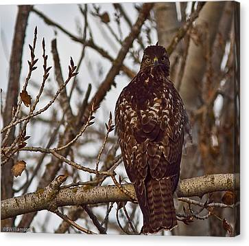 Red Tail Hawk Canvas Print by Brian Williamson