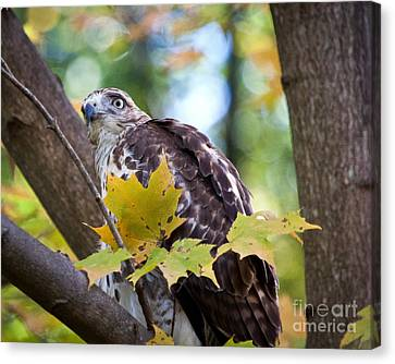 Red Tail Hawk Closeup Canvas Print by Eleanor Abramson