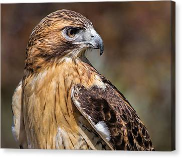 Red Tail Hawk Canvas Print