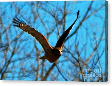 Canvas Print featuring the photograph Red Tail Hawk In Flight by Peggy Franz