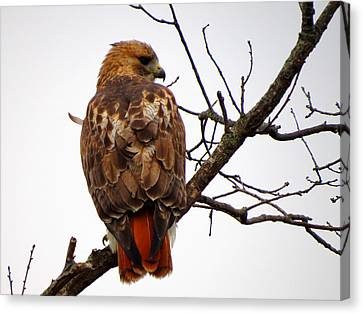 Red Tail Hawk In Winter Canvas Print