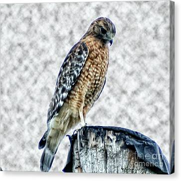 Red Tail Hawk Looking Down Canvas Print by Gena Weiser