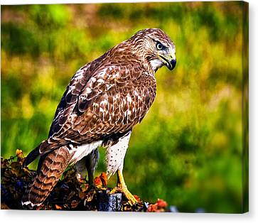 Red Tail Hawk Canvas Print by Michael Toy