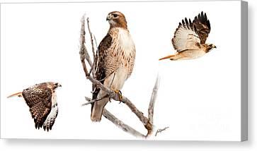 Red Tail Hawk Series Canvas Print