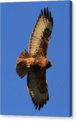 Red Tail II Canvas Print
