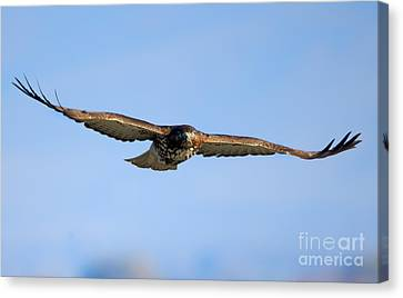 Red -tail Stare Canvas Print by Mike Dawson