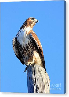 Red-tailed Hawk . 40d10167 Canvas Print by Wingsdomain Art and Photography