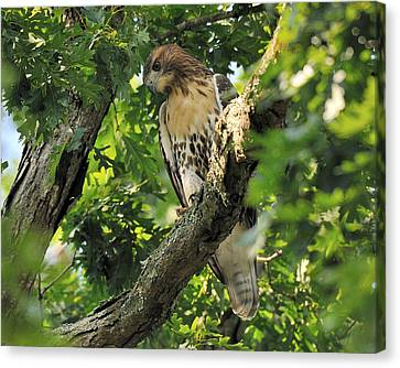 Red Tailed Hawk Canvas Print by Angel Cher