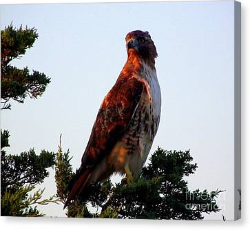 Red-tailed Hawk  Canvas Print by CapeScapes Fine Art Photography