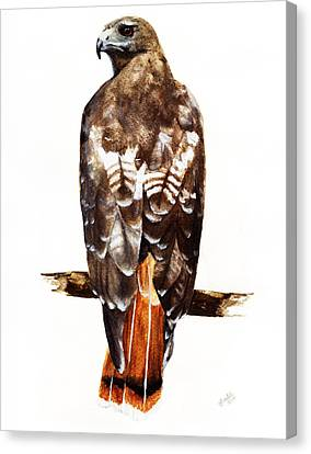 Red Tailed Hawk Canvas Print by Carlo Ghirardelli