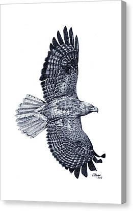 Red Tailed Hawk Canvas Print by Colin Hayes