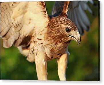 Red Tailed Hawk Hunting Canvas Print by Dan Sproul