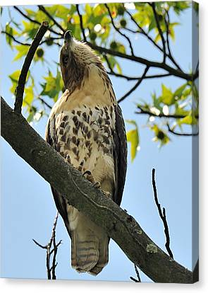 Red Tailed Hawk Juvy Canvas Print by Angel Cher
