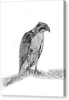 Red Tailed Hawk Canvas Print by KG Christopher
