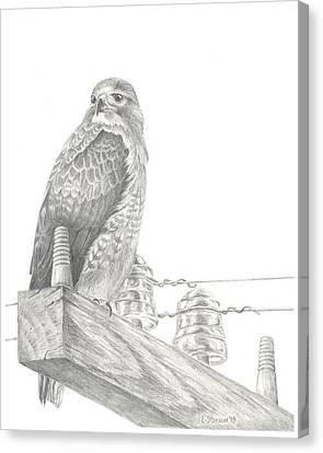 Red Tailed Hawk Canvas Print by Lori Stonum