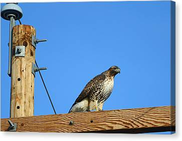 Red-tailed Hawk On A Power Pole Canvas Print by Eric Nielsen