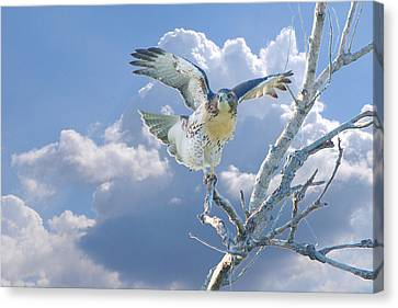 Red-tailed Hawk Pirouette Pose Canvas Print by Roy Williams