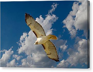 Red-tailed Hawk Soaring Series 5 Canvas Print