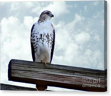 Red Tailed Hawk Waiting Canvas Print by Gena Weiser