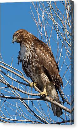 Red-tailed Hawk Watching The Ducks Canvas Print