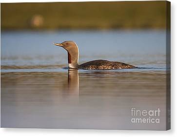 Red-throated Diver Gavia Stellata Canvas Print