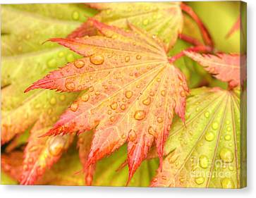 Red Tip Leaf Canvas Print