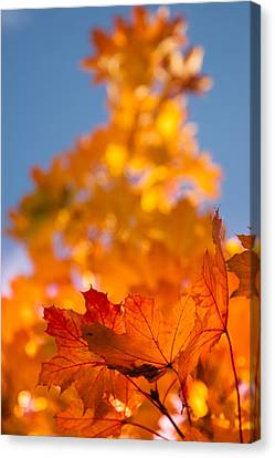 Red Tipped Gold Canvas Print