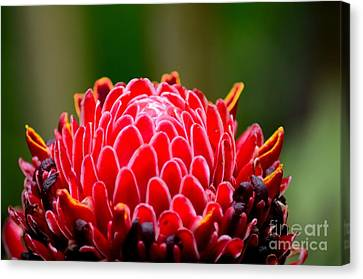 Red Torch Ginger Flower Head From Tropics Singapore Canvas Print