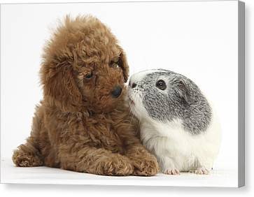 Red Toy Poodle Puppy And Guinea Pig Canvas Print by Mark Taylor