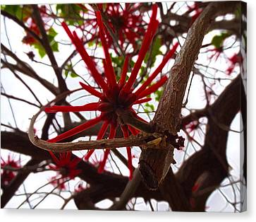 Red Tree Spiders  Canvas Print by Kenneth James