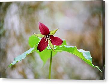 Canvas Print featuring the photograph Red Trillium by David Porteus
